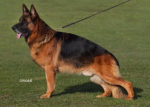 northwest german shepherd kennel