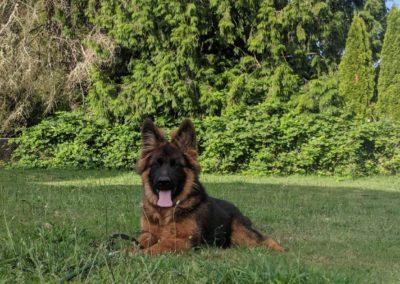 northwest german shepherd kennel